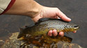 Welsh Mountain trout
